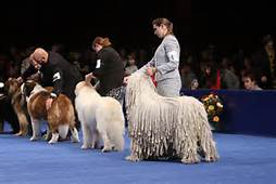 Dogs competing in conformation